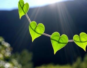 coeurs feuilles