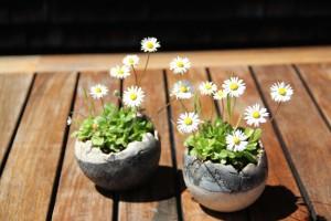 daisy-181905_1280